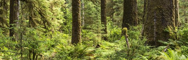 thuja wellness cedar
